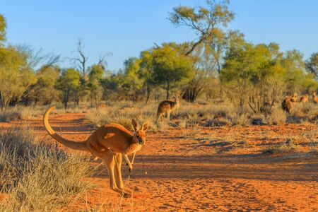 Red kangaroo, Macropus rufus, jumping over red sand of outback central Australia in the wilderness. Australian Marsupial in Northern Territory, Red Centre. Desert landscape at sunset.