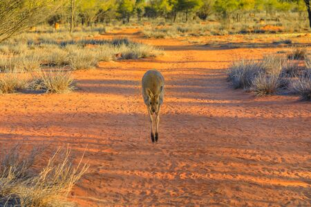 Front view of red kangaroo jumping on red sand of outback Central Australia in the wilderness. Australian Marsupial, Macropus Rufus, Northern Territory, Red Centre. Desert landscape at sunset. 写真素材 - 131633476