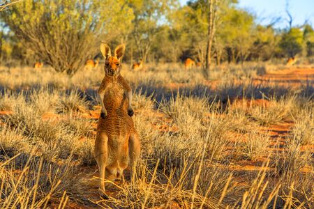 Front view of a male red kangaroo standing outdoors in the wilderness. Outback of Central Australia. Australian Marsupial, Macropus rufus, Northern Territory, Red Centre. Desert landscape at sunset. 写真素材