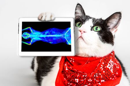 black and white cat with green eyes, wearing a red bandana, showing its ct scan in a tablet. White studio background. oncologist veterinary diagnostic test. Archivio Fotografico - 134370929