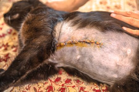 Incision wound after a mastectomy surgery in a cat. Pet care examination and medication disinfecting the wound with stitches. Archivio Fotografico - 134370937