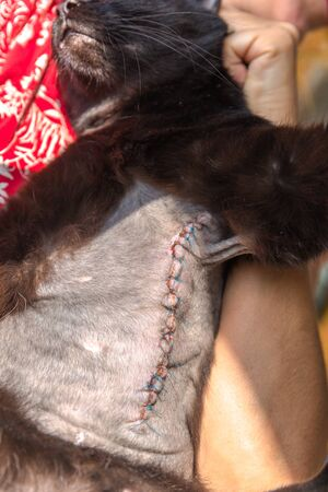 Vertical incision wound after a mastectomy surgery in a cat. Pet care examination and medication disinfecting the wound with stitches. Archivio Fotografico - 134370942