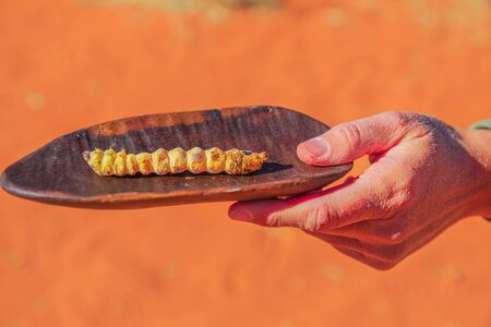 Hand of woman holds on a bush tucker food with a Witchetty grubs grilled, a wood-eating larvae that feeds on roots of witchetty bush in Northern Territory. Food of Aboriginal Australians diets.