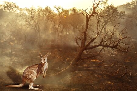 Composition about Australian wildlife in bushfires of Australia in 2020. Kangaroo with fire on background. January 2020 fire affecting Australia is considered the most devastating and deadly ever seen Foto de archivo