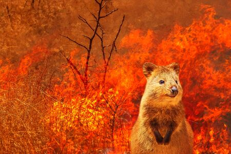 Composition about Australian wildlife in bushfires of Australia in 2020. Quokka with fire on background. January 2020 fire affecting Australia is considered the most devastating and deadly ever seen