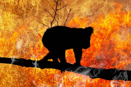 Koala survival at risk. Koala bear silhouette on eucalyptus branch escape from australian bushfires in 2019 and 2020. Conceptual: save koala, global warming, natural disaster, climate change.