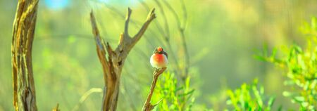 Banner panorama of Red-capped Robin, Petroica goodenovii, on a tree with blurred nature background. Desert Park at Alice Springs, MacDonnell Ranges in Northern Territory, Central Australia.