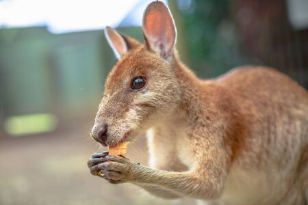 Closeup of side view of wallaby eating in nature. Blurred background.