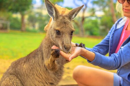 Woman feeding kangaroo from hand outdoor. Encounter with Australian marsupial animal in Australia. Portrait of macropus rufus in green grass. Front view.