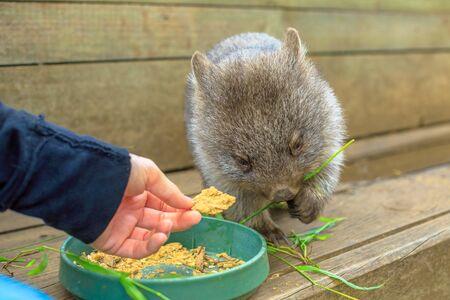 Closeup of a cute wombat joey, Vombatus ursinus, eating from man hand. Feeding wombat outdoor. The wombat is a herbivorous marsupial.