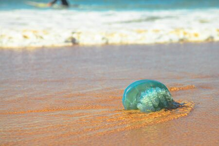 Blue jellyfish species Velella jellyfish, stranded on the sand in Gold Coast of Queensland on Australian beach. Zdjęcie Seryjne