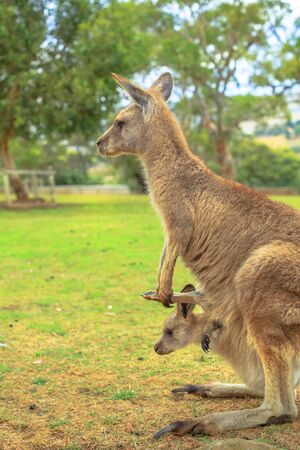 Side view of kangaroo with a joey in a pocket, Macropus rufus, in Australia. Australian Marsupial standing on grass outdoors. Vertical shot.