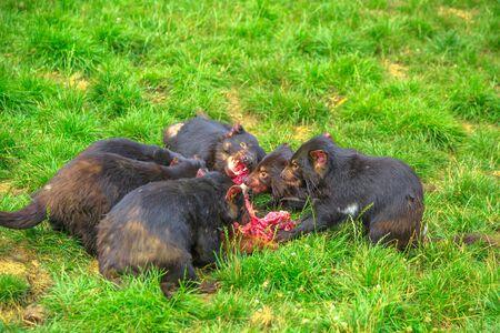 Group of Tasmanian Devils, Sarcophilus harrisii, tear down a carcass of dead animal with ferocity and aggravation in nature. Marsupials Wildlife of Tasmania, Australia. Reklamní fotografie