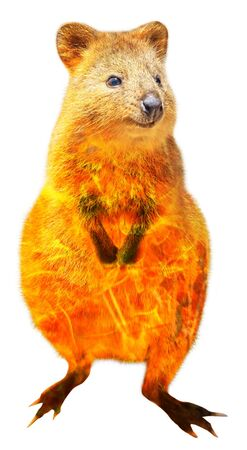 Composition about Quokka wildlife in the Australian bushfires in 2020. Quokka with fire isolated on white background. The Quokka is an australian mammal and marsupial, crepuscular and nocturnal.