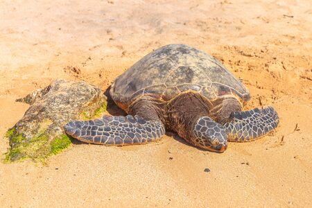 Hawaiian Sea Turtle or Green Sea Turtle rests on the golden sand in Laniakea Turtle Beach on Oahu island, Hawaii, United States. Фото со стока