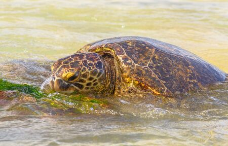 Detail of a Green Sea Turtle or Hawaiian Sea Turtle near the shore in Laniakea Beach also known as Turtle Beach on Oahu island, Hawaii, United States.