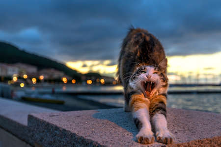 Female cat of Marciana Marina village, along the waterfront at night in Italy. stretching and yawning in Marciana Marina town on Elba island.