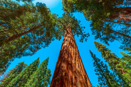 Sequoia forest of Sequoia and Kings Canyon National Parks in California, United States of America. Sequoiadendron giganteum tree species.