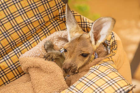 Orphaned baby kangaroo joey in pet bed. Close up view.