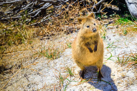 Quokka marsupial Australia