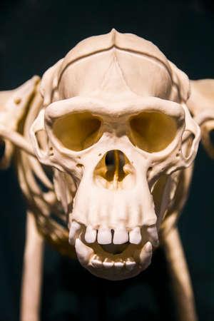 monkey skeleton 版權商用圖片