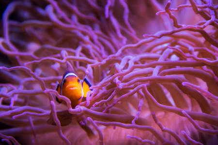 clown fish in coral Stock Photo