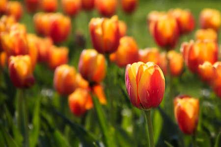 orange tulips in the garden Imagens