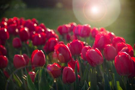 red tulips in the garden Imagens