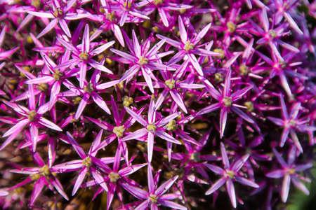 Pink Allium Christophii Flower