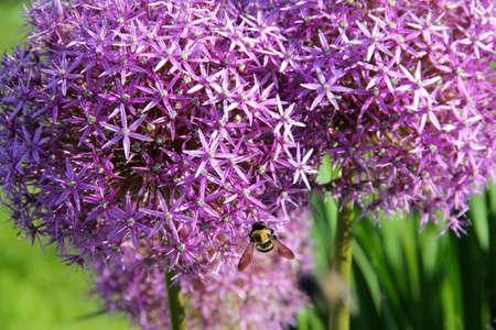 Purple Allium Christophii Flower