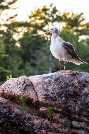 Seagull on a rock in Mt Desert Campground