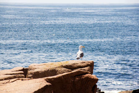 Seagull on a rock in Acadia National Park