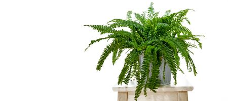 Boston fern - Nephrolepis exaltata Фото со стока