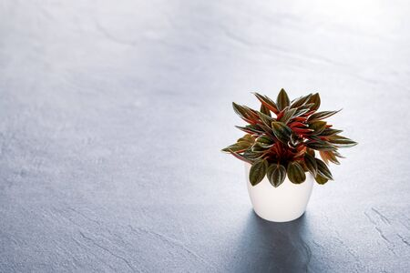 Peperomia Rosso on black slate background