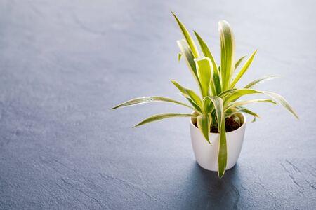 Chlorophytum laxum on black slate background Stock Photo