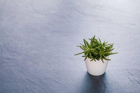 Succulent plant on black slate background