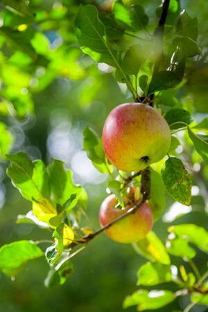 Organic apple in natural conditions