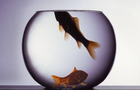caudal fin: Red fishes in aquarium