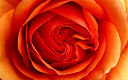 heart very: heart of rose seing very close up