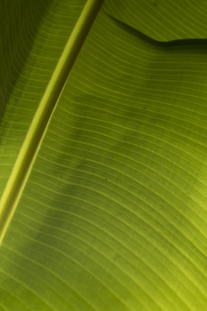 Closeup of the underside of a  banana leaf