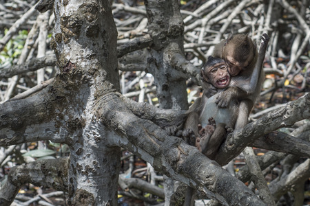Two young monkeys playing in the mangrove