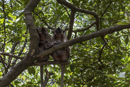 Two monkeys sleeping on a branch in the mangrove
