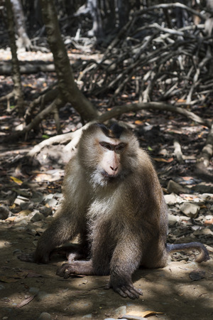 Monkey on a path in the mangrove Banco de Imagens