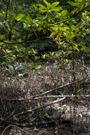 Mangrove at Can Gio's Monkey Island, south Vietnam