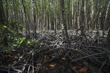 Mangrove at Can Gios Monkey Island, south Vietnam Banco de Imagens