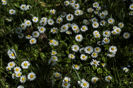 Daisies parterre in a private garden in France. 版權商用圖片