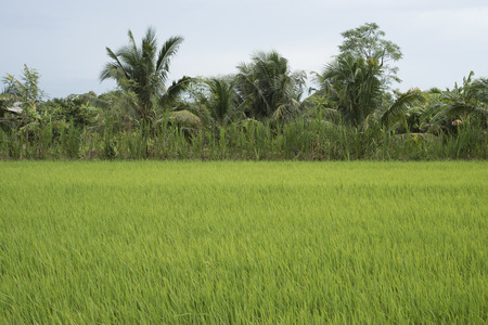 Ricefield with coconut and palm trees in the horizon, in the Mekong Delta, Southern Vietnam. 写真素材