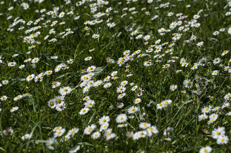 Daisy bed in a garden in France.