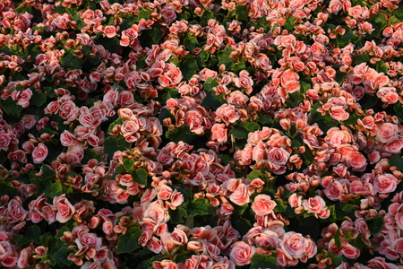 Parterre of pink roses with green leaves