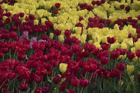 Parterre of pink, yellow, and red tulips.